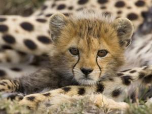 Baby-Cheetah-640x480